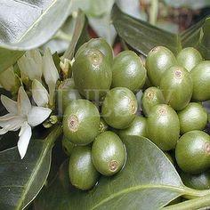 green coffee bean extract  http://www.gmp-factory.com/herbal-medicine/sleep-improvement/siberian-ginseng-extract.html  http://www.gmp-factory.com/herbal-medicine/sleep-improvement/jujuba-extract.html