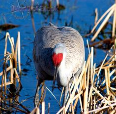 Stock Photo of Head On View Of Sandhill Crane Showing The Distinct Red Heart Shaped Marking On Head, George C. Reifel Bird Sanctuary, Delta, BC, Canada