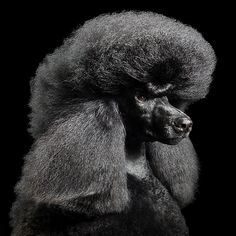 Poodle Absolutely Amazing Dog Photos from Tim Flach