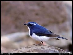 Ultramarine Flycatcher  This eye-catching Flycatcher breeds in the Himalayas and is a widespread winter visitor