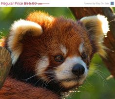 SALE  20 OFF  Animal Photography  Red Panda
