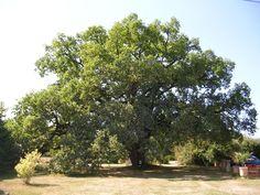 Le Chêne, arbre de 400 ans du Château de #Chambiers. #nature