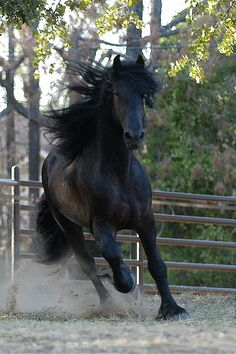 ☀Friesian ~ Herman (TeunisXLeffert) by Julee K's Photos on Flickr*