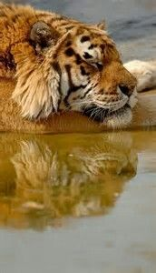 Tiger Reflection..Tigers are the only Big Cats that ACTUALLY like water
