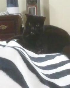 Noir chatte Trib