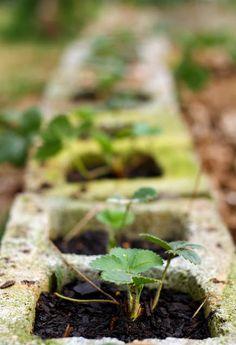 grow strawberries in cinder blocks