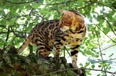 Absolutely Bengal Cats | Bengal Cats Bengals Illustrated Directory