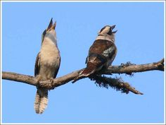 kookaburra calling - Google Search