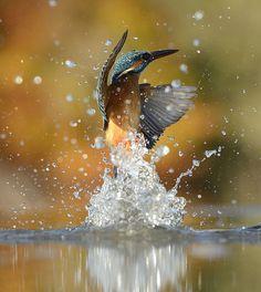 Ce photographe a fait 720 000 tentatives pendant 6 ans pour avoir la photo parfaite d'un martin-pêcheur. Belle prise !