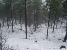 Pinos derechos cubiertos de un manto de nieve.