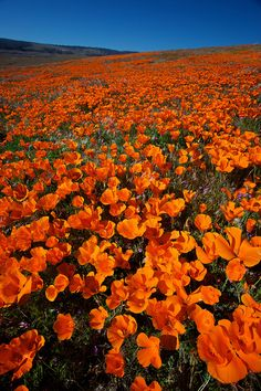 California Poppies: Antelope Valley, California - USA