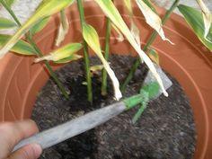 Faire pousser un rizome de gingembre dans un pot, c'est possible et trés facile. Activité de jardinage facile pour l'école.