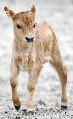 What a beauty!... this is why I could have cows they start out as cute babies and then I would name them not hamburger