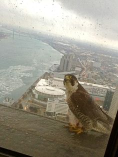 Peregrine Falcon perched on a ledge outside of the GM Renaissance Center in Detroit, Michigan