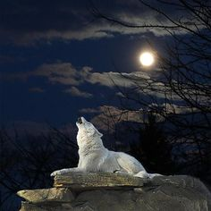 White Wolf Howling in The Moonlight.