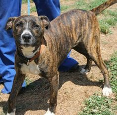 PLEASE ADOPT FOSSIL....Fossil: Stunning male pit now available for adoption at HIGH KILL SC shelter