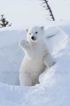 """Did you know that polar bear cubs weigh no more than a few pounds at birth? Pretty crazy when you realize that adult male polar bears can reach weights of over 1500 pounds! Cute Baby Animals, Animals And Pets, Funny Animals, Beautiful Creatures, Animals Beautiful, Baby Polar Bears, Cute Polar Bear, Polar Cub, Polar Bear Images"