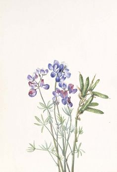 Untitled--Flower Study, ca. 1900-1930, Mary Vaux Walcott, watercolor on paper, 10 x 7 in. (25.5 x 17.7 cm), Smithsonian American Art Museum, Gift of the artist, 1970.355.114
