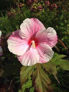 Nu helemaal open. Wat een grote bloem: Hibiscus Kopper King