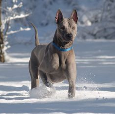 Thai ridgeback dog - Belezza,animales , salud animal y mas Big Dogs, Cute Dogs, Dogs And Puppies, I Love Dogs, Thai Ridgeback, Unique Dog Breeds, Rare Dog Breeds, Mastiff, Socializing Dogs