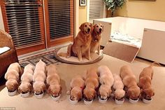 Proud parents: This mother and father golden retriever look very proud of their ten equall...
