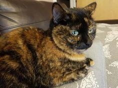 Tabby Cats, Kitty Cats, Cats And Kittens, Tortoiseshell Tabby, Baba Vanga, Neko Atsume, Calico Cats, Kitten Love, Wild Hearts
