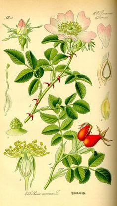 *The Graphics Fairy LLC*: Instant Art Printable - Wild Rose Botanical # 4 Rose Illustration, Illustration Botanique, Botanical Illustration, Vintage Botanical Prints, Botanical Drawings, Graphics Fairy, Botanical Flowers, Botanical Art, Impressions Botaniques