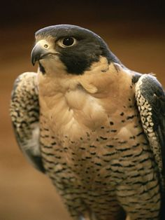 Once an endangered species in the United States, North American peregrine falcon populations have made a great comeback due to bans on usage of DDT and similar pesticides. Photograph by Michael Melford    ..z