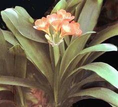 Clivia - Come curare e coltivare la vostra Clivia
