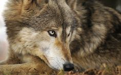 Michigan�s Wolf Hunt Set to Start Thanks to Government Lies (There are more feral people in Detroit than there are this magnificent animal in the state of Michigan!) Shame on the state of Michigan!!!