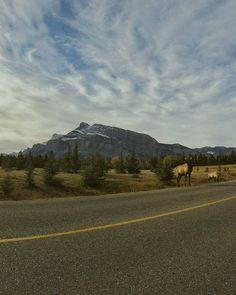 Banff National Park, Alberta, Canada. Road side mountain views with wild elk enjoying nature. Flights+Barrels Travel Photography.