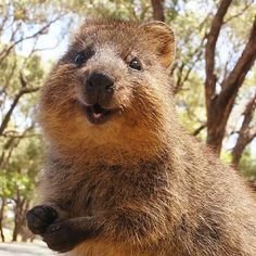 "VULNERABLE: The Quokka. Could these mini-marsupials be any more smiley? They primarily live on Rottnest Island, Australia (which was named after ""rat nest"" from the guy who initially discovered the island and thought the quokkas were big rats)."