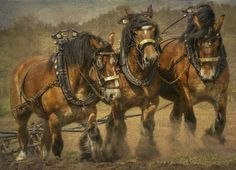 A team of Brabant Belgian Draft horses plowing a farmers field in Belgium
