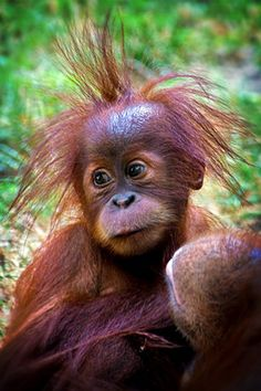This cute orangutan baby may need a new hairdresser.  The color's not bad, maybe a bit too purple.