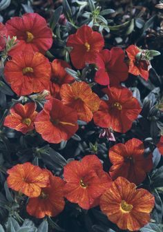 Proven Winners - Million Bells® Crackling Fire - Calibrachoa hybrid red plant details, information and resources. Container Plants, Container Gardening, Flower Gardening, Million Bells, Outside Plants, Red Plants, Proven Winners, Begonia, Hanging Baskets