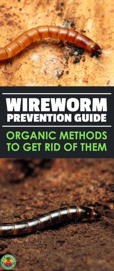 Do you have a wireworm infestation?  Read our complete pest guide to find out how to identify these agricultural pests and wipe them out! #pests #gardening #epicgardening