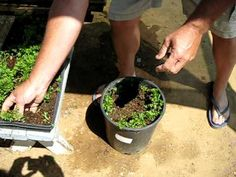 Green Garden TIPS: How to grow carrots in buckets - windy video but looks doable.