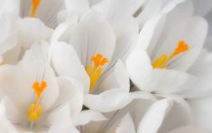 Attachment file for Beautiful Nature Wallpaper for Desktop with White Crocus Flower Lovely Flowers Wallpaper, Flower Background Wallpaper, Beautiful Nature Wallpaper, Flower Backgrounds, Beautiful Flowers, Wallpaper Free Download, Wallpaper Downloads, Hd Wallpaper, Desktop Wallpapers