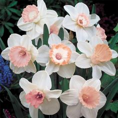 White And Pink Daffodils White and pink daffodils