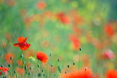 Poppy Party - Field Of Corn Poppies Photograph by Roeselien Raimond