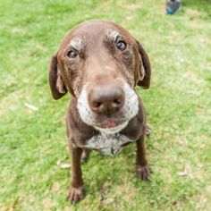 """""""Olive is a 10-year-old German Shorthair Pointer. She has not done anything remarkable but she makes me smile every day. She comes to work with me. Stay with me all the time. Make me more relax. Help me not to stress. She is my best friend."""" Follow @ThePawsome.co if you just said Awwwwww   For my followers ONLY  Get my FREE ultimate cheat sheet to take PAWSOME dog photo at the link in my bio @ThePawsome.co"""