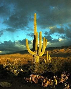 a Saguaro cactus, in the Sonoran desert of Arizona Beautiful World, Beautiful Places, Desert Dream, Desert Life, Desert Cactus, Arizona Cactus, All Nature, Cactus Y Suculentas, Le Far West