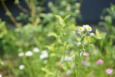 お花たち(2015年5月) Dandelion, Flowers, Plants, Dandelions, Plant, Taraxacum Officinale, Royal Icing Flowers, Flower, Florals