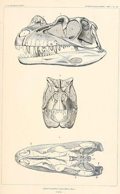 geo-ebooks: Skull of the Jurassic Dinosaur Ceratosaurus nasicornis Marsh, 1896 from The dinosaurs of North America (1896) source: http://archive.org/stream/dinosaursofnort00mars