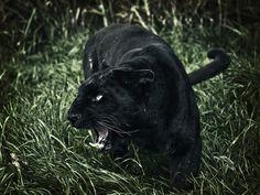 [] la pantera negra