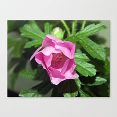 New, Tiny Pink Bloom  https://society6.com/product/musk-mallow-pretty-pink-flower_stretched-canvas?curator=danbytheseacurator This photo is Available on over 20 products  Follow DanByTheSea  https://society6.com/danbythesea #society6 #danbythesea