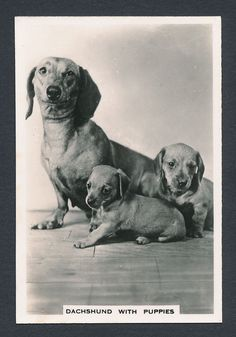 Dachshund with Puppies from series Dogs by Senior Service Cigarettes card #26