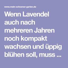 Wenn Lavendel auch nach mehreren Jahren noch kompakt wachsen und üppig blühen soll, muss man ihn regelmäßig schneiden. So wird's gemacht.