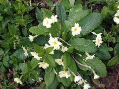 Primroses in our woods, just a short walk from our holiday carriages in St Germans, Cornwall. Primroses, Cornwall, Acre, Woodland, Woods, Holiday, Plants, Vacations, Mornings