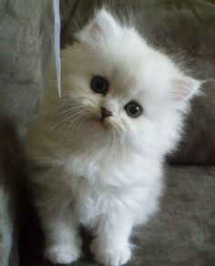 """Chinchilla Persian Kittens (Article from """"fuhttp://www.funnyordie.com/lists/005e3347eb/gifs-of-animals-enjoying-snow-way-more-than-you-ever-havehttp://www.funnyordie.com/lists/005e3347eb/gifs-of-animals-enjoying-snow-way-more-than-you-ever-have?_cc=__m___&_ccid=20e80427-8474-46cf-800e-0b020466d75a?_cc=__m___&_ccid=20e80427-8474-46cf-800e-0b020466d75a"""
